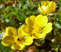 Frühlingsfingerkraut (Peter Röhl/pixelio)