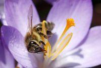 Nahrungsaufnahme einer Biene im Frühling (Manfred Kunz)