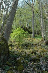 Schluchtwaldsteilhang am Mühlenberg mit bemoostem Gesteinsschutt (Winfried Becker)