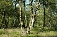 Karpaten-Moorbirken in Jägers Weinberg (Winfried Becker)