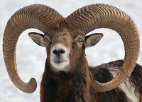 Mufflon oder Muffelwild (Dieter Haugk/pixelio)